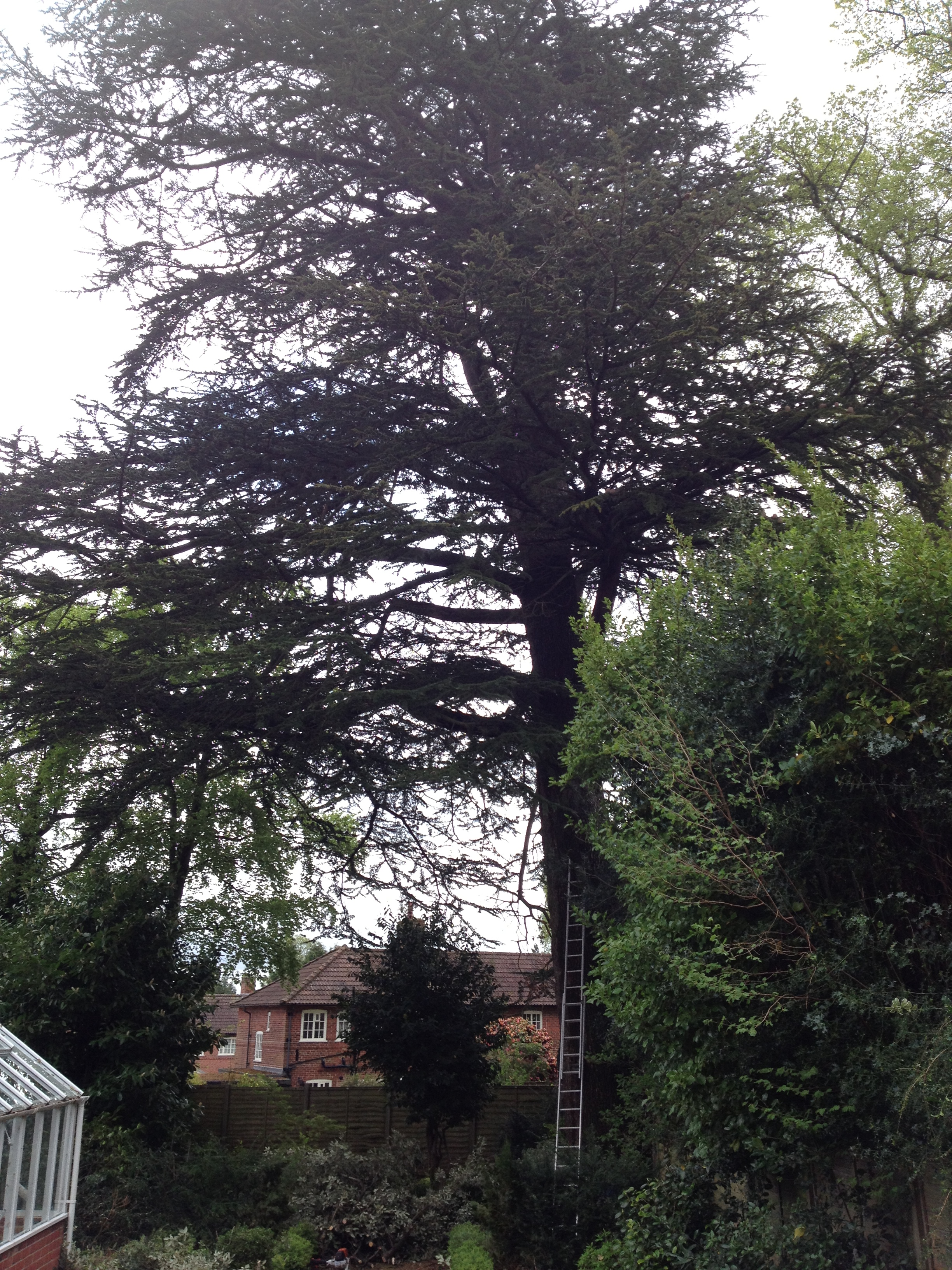 Crown lift - Large Cedar Tree - Portswood Southampton