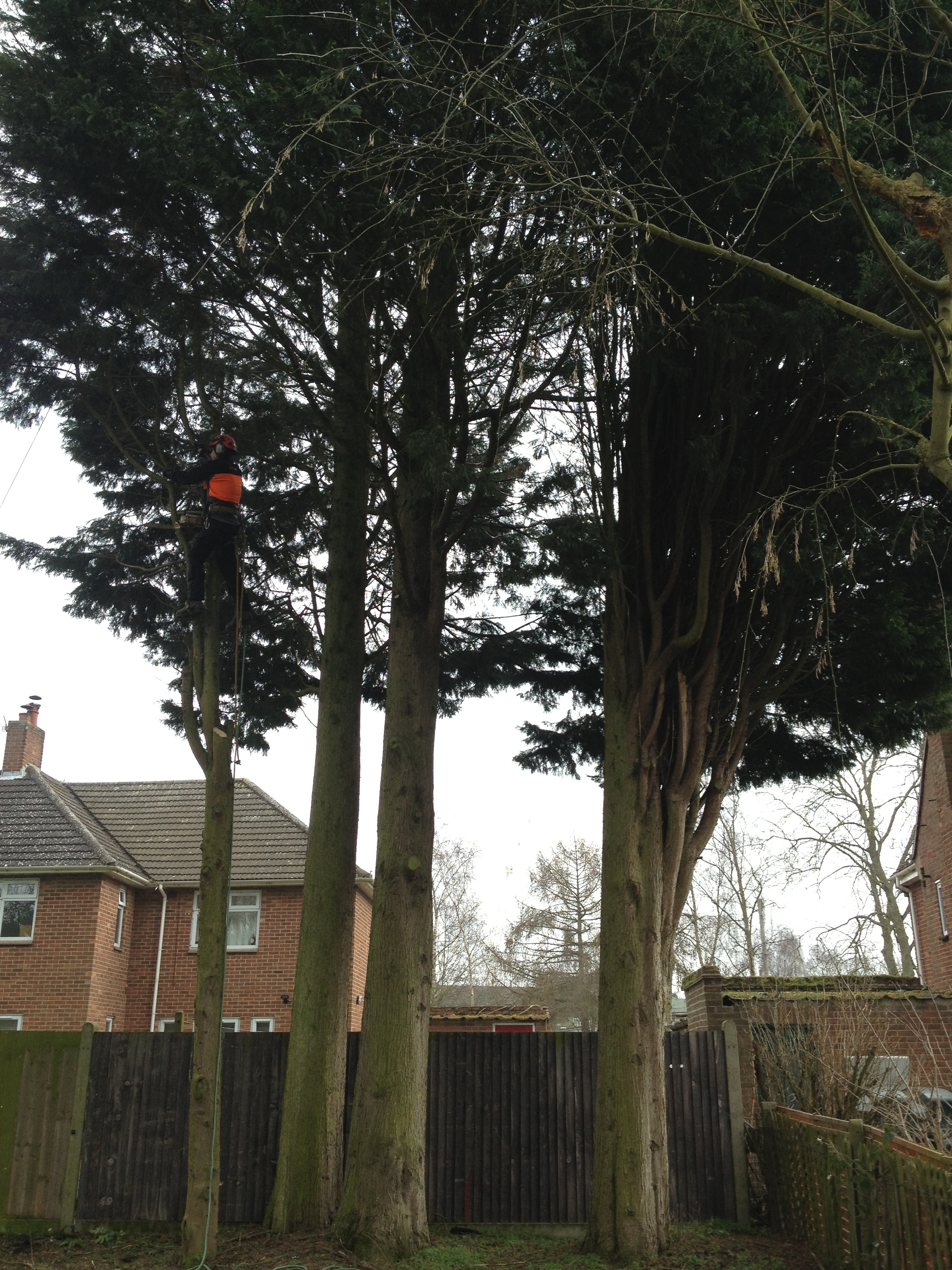 Large Tree Removal Disease