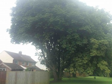 Large Tree Trimmed in Southampton Hampshire